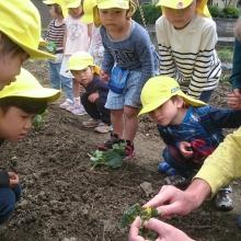園の畑で野菜苗の観察